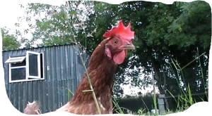 hens-house-23-7-2013.png