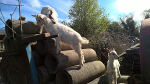Baby goats playing king of the castle.